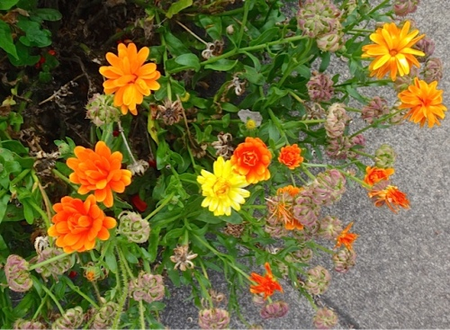 calendula flowers and seeds