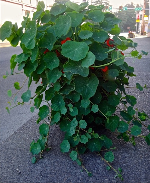 This nasturtium grows outside of our dear friend Jenna's Queen La De Da studio so gets extra water from her.