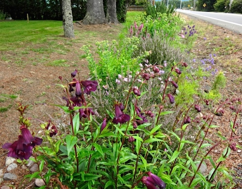 Penstemon 'Sour Grapes' in the roadside garden