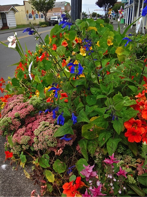 Salvia patens (Allan's photo)