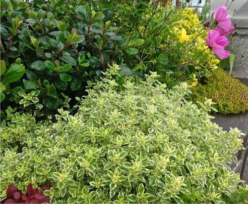 variegated oregano (Allan's photo)