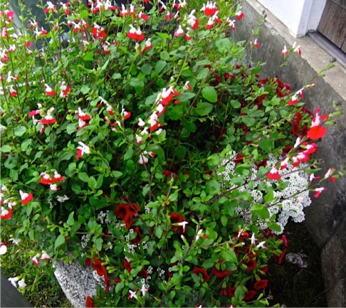 red and white planters in Veterans Field (Salvia 'Hot Lips' and alyssum) Allan's photo