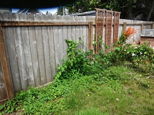before: blackberry and bindweed that had crawled under the fence