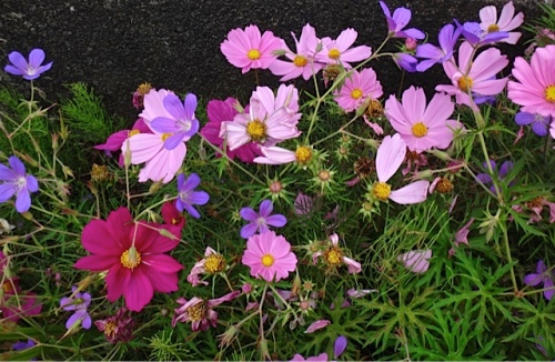 lots of deadheads on the cosmos now (Allan's photo)