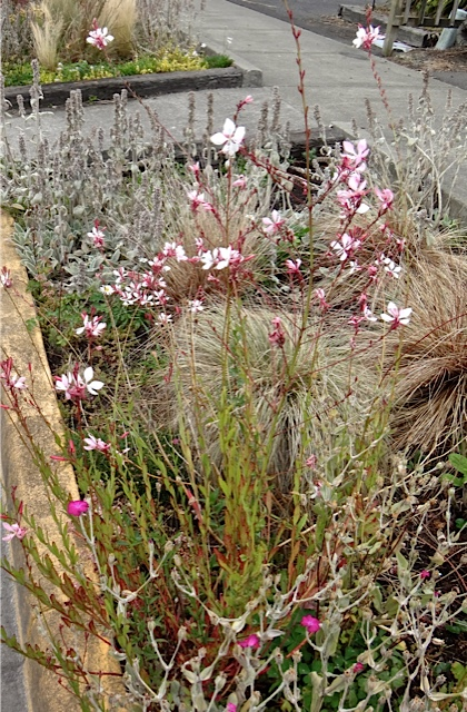 Gaura 'Whirling Butterfly' (Allan's photo)