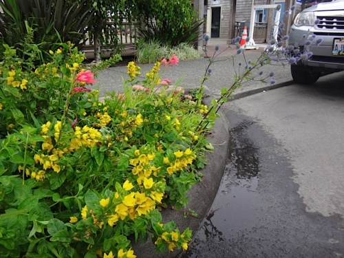 street tree: Lysimachia punctata and Eryngium. We need tough plants that can get by with one a week water. (Allan's photo)