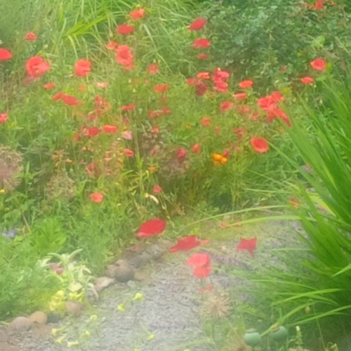 """so love all the poppies and red this year. thank you, garden magician"" photo by Nancy Gorshe"