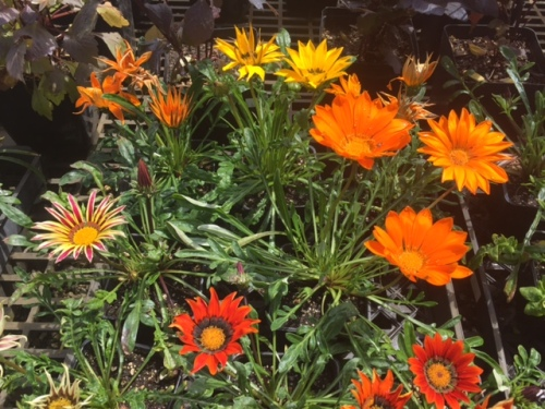 bright and cheerful gazanias