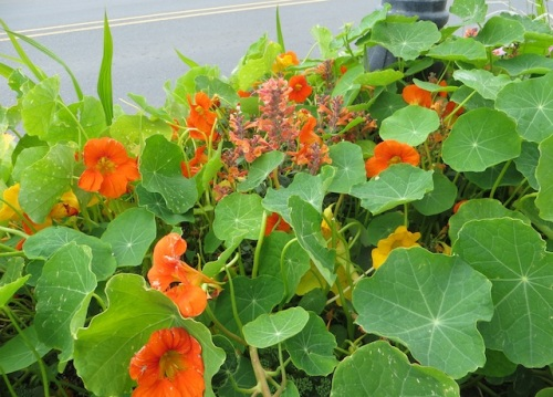 in a planter: trimmed some nasturtium leaves so the poor agastache shows