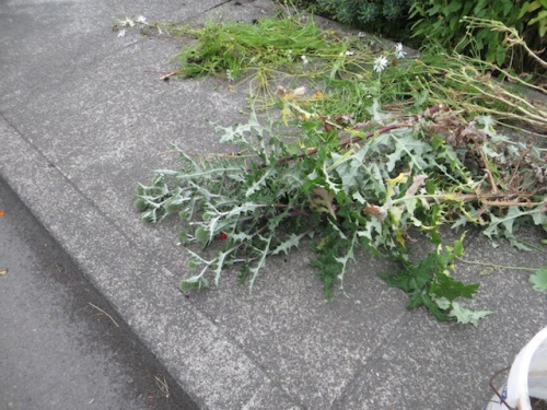 had to cut back an echinops that had placed itself next to the sidewalk...phooey.