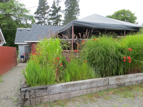 Grasses enclosing the deck. This fall, I will try transplanting some Tetrapanax 'Steroidal Giant' there.