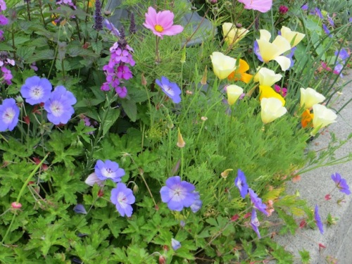 Geranium 'Rozanne' and California poppy