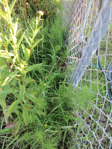 and the damnable horse tail that grows along the fence.