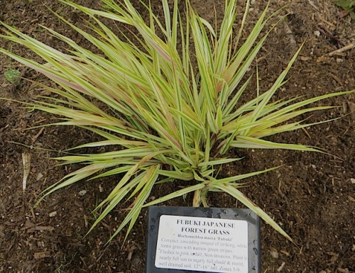 Hakanechloa macra 'Fubuki'. Not very saveable to have the label on the pot.