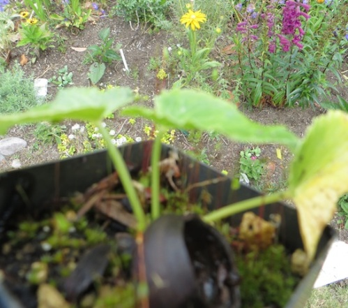 about as tiny as the hazelnut mulch, Eryngium giganteum
