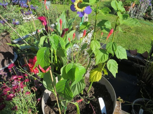 Ruellia elegans 'Ragin' Cajun' ...in the same pot...