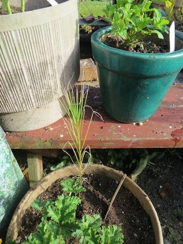 Asphodel liburnica, also in a pot. Above it: Mojito mint.