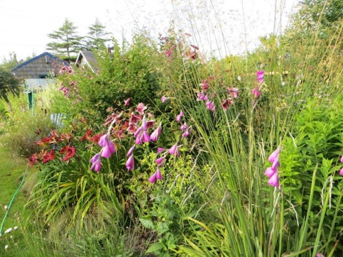 My dierama reminds me I failed to acquire Dierama 'Merlin', the new dark one.
