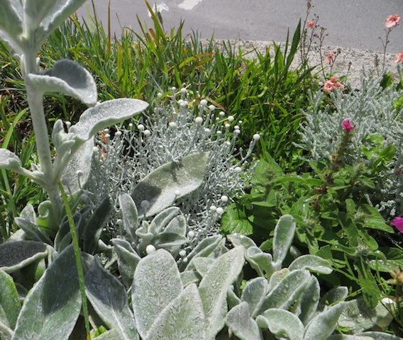 lambs ears, and the new little round silver plant whose name I have forgotten, and santolina
