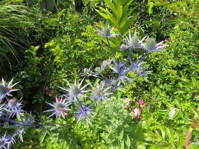 Eryngium 'Sapphire Blue' in Fifth Street Park