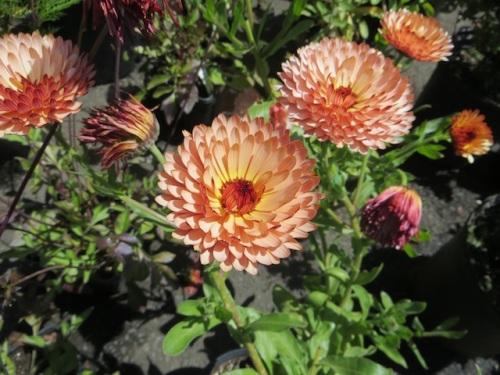 Calendula 'Strawberry Blonde'