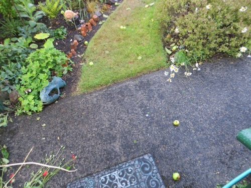lots of little apples blown off the trees