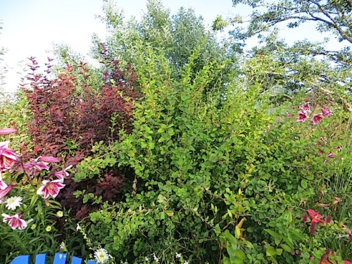 I bought this berberis from Dancing Oaks eight years ago because it looked amazing in their display garden, with berries. Lost the tag. If it does not manage to look amazing in my garden pretty soon, it's coming out of this border in the fall.