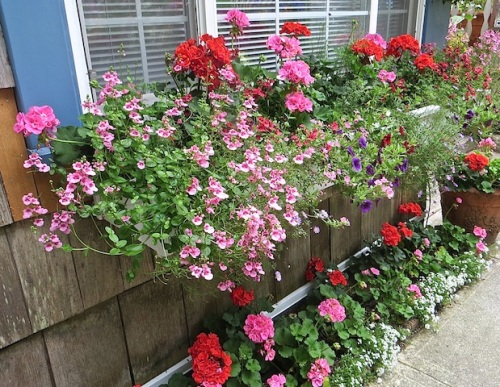 ...as does this window box on the north wall of the tiny guest cottage.