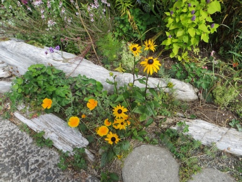Rudbeckia that Our Kathleen donated last year.