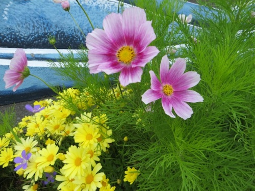 Cosmos 'Happy Ring' reseeded from last year