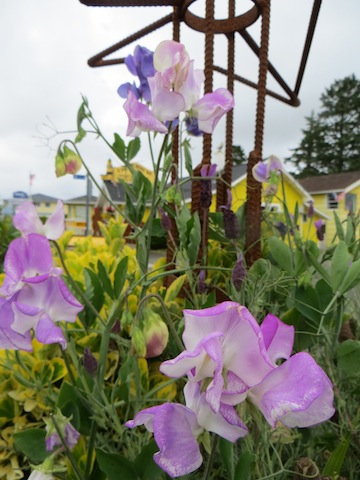 sweet pea success in one of the planters (with a tower that holds a business name sign)