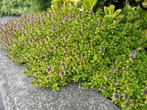 edging carpet of golden thyme