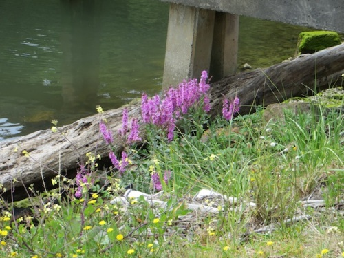 looks like bad invasive purple loosestrife has blown in from somewhere, down where I can't get at it.