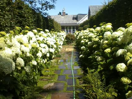 Hydrangea 'Incrediball' in Oysterville
