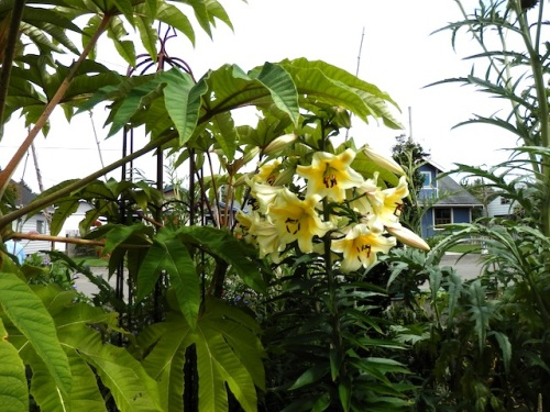 tetrapanax and lilies