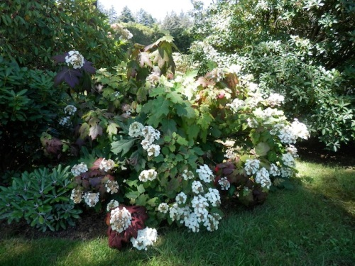 an enviable oakleaf hydrangea (a shrub I have never managed to successfully grow