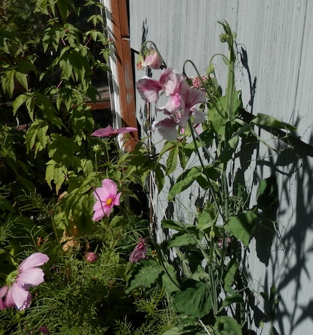 sweet pea success ('Streamers')
