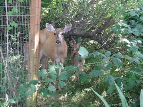 Two spotted fawns went bounding to join their mother.