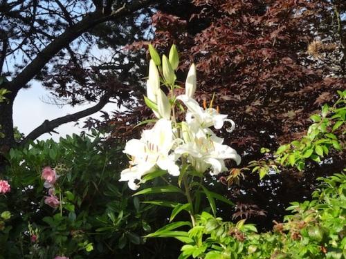towering lilies
