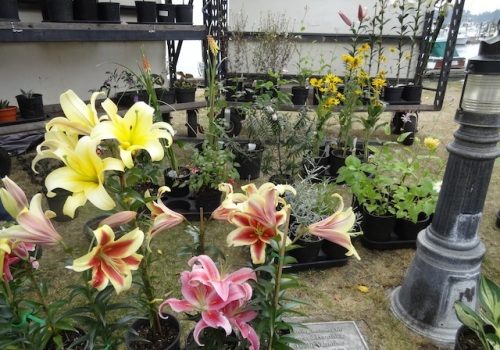 lilies for sale