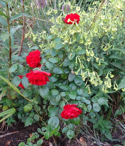 my mom's velvety red rose