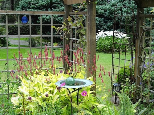 inside the fenced garden with Persicaria 'Golden Arrow'