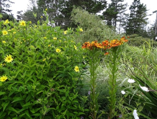 Helianthus 'Lemon Queen' and Helenium 'Feuersiegel'