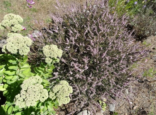 Sedum 'Autumn Joy' and the heather that inspired the roadside garden.