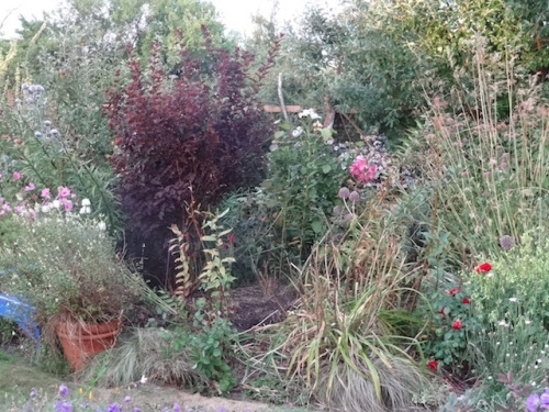 later, with debris pile mulch added where the barberry was