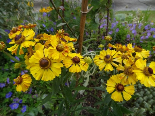 so happy to see rainwater on helenium...