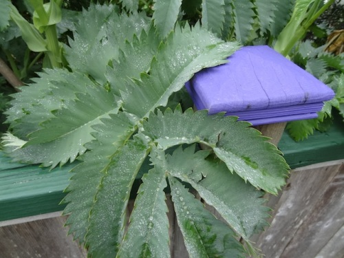 and Melianthus major...