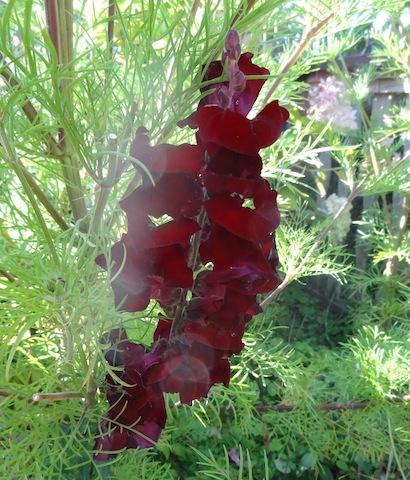 dark red velvet snaps