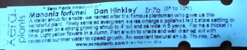 Mahonia 'Dan Hinkley'
