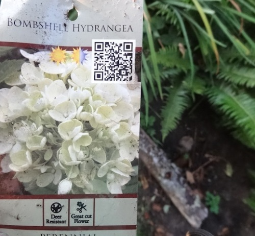 Hydrangea 'Bombshell' from Blooming Nursery